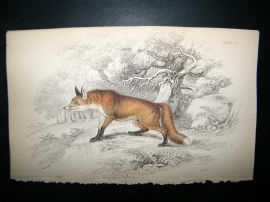 Jardine 1838 Antique Hand Col Print. Fox